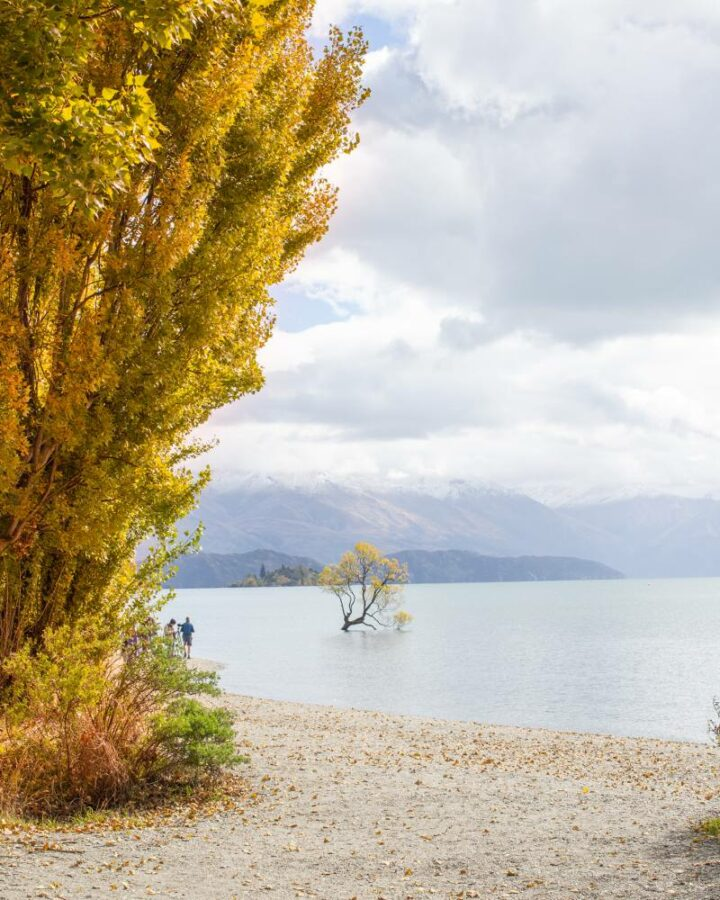 That Wanaka Tree in autumn with snow on the mountains